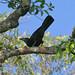 Flores Crow (Corvus florensis)