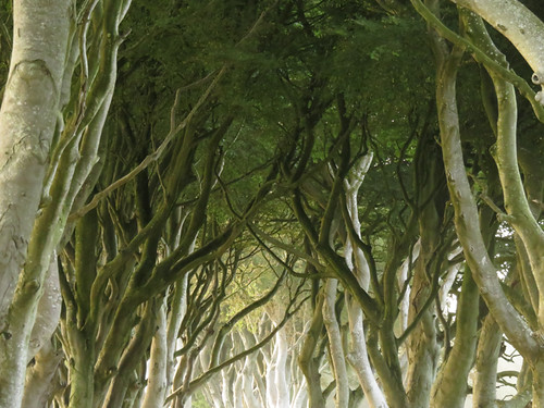 The narrow road through an avenue of ancient beech trees, Dark Hedges in Ireland, UK is now famous for being featured on the Game of Thrones