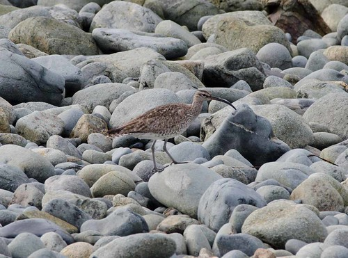 Hudsonian Whimbrel | by markhows