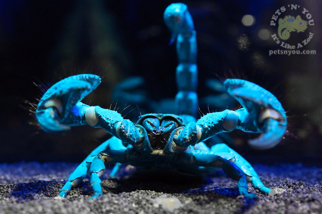Emperor Scorpion An Emperor Scorpion Glowing Under Ultra