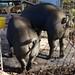 Pig Transport Day
