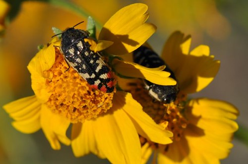 Buprestid beetles at Bosque | by Diatoms