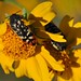 Buprestid beetles at Bosque