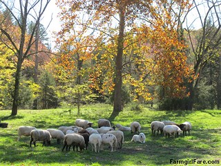 A peaceful scene in the sheep pasture | by Farmgirl Susan