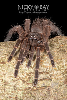 Tarantula (Phlogiellus sp.) - ESC_0002 | by nickybay