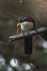 Chestnut-backed Scimitar-Babbler - Ijen - East Java_MG_7601