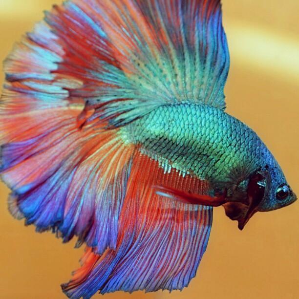 Flaring betta fish mari flickr for Siamesischer kampffisch haltung