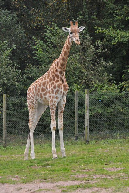 Kordofan giraffe im parc zoologique de jurques flickr photo