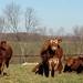 MASSIVE ONLINE OPEN COWS