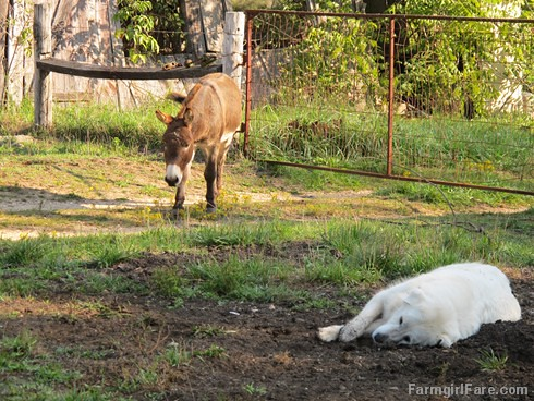 Daisy on donkey guard dog duty (12) - FarmgirlFare.com | by Farmgirl Susan