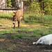 Daisy on donkey guard dog duty (12) - FarmgirlFare.com