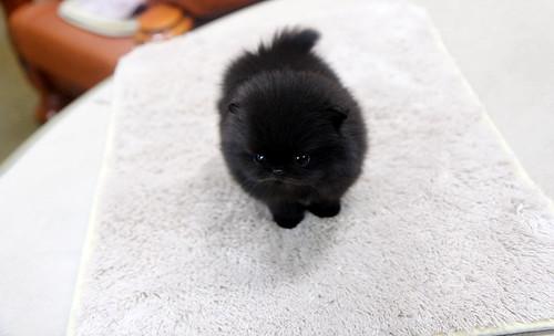 high quality teacup black pomeranian puppy | So adorable ...