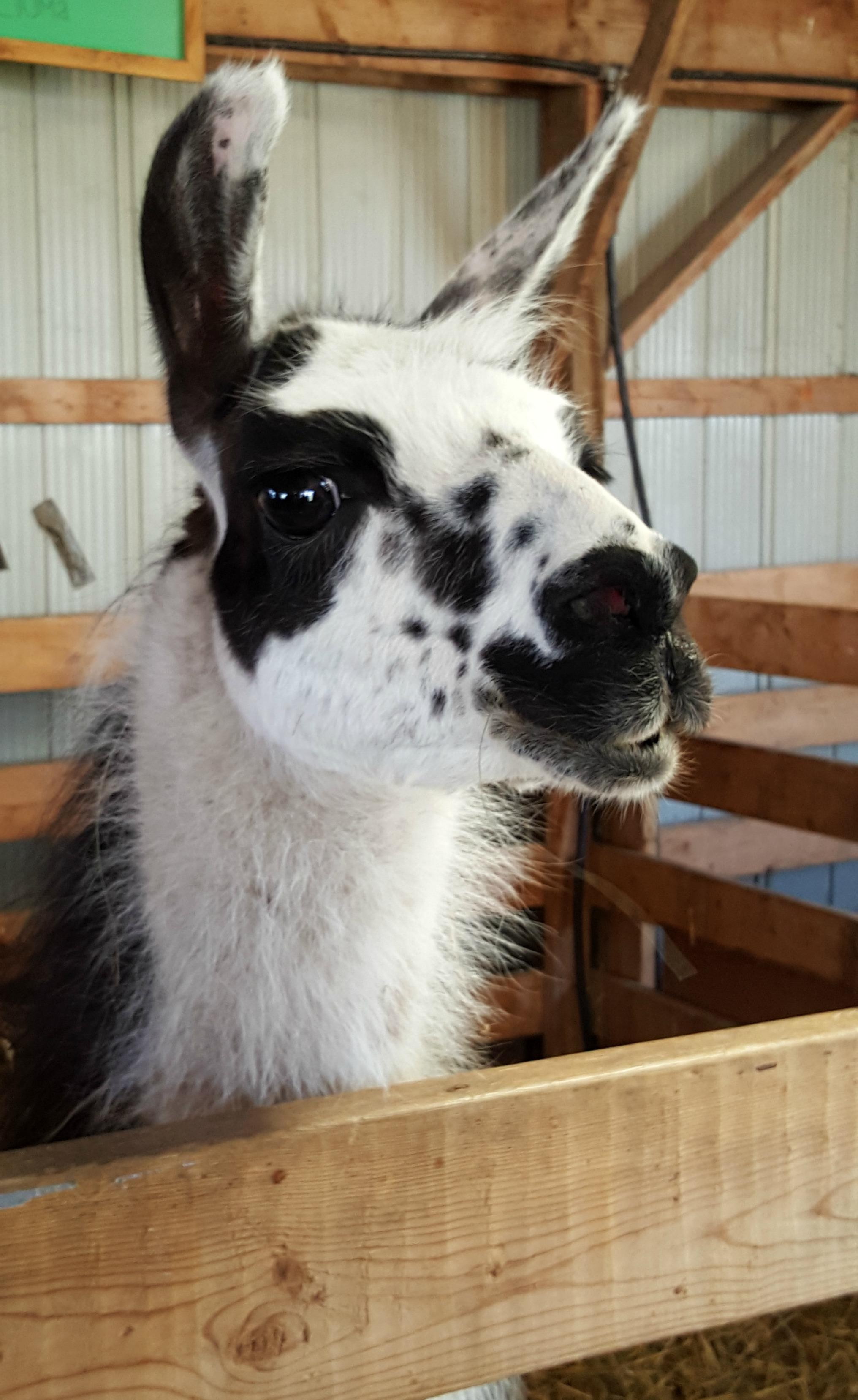Llama Sutton Fair 2016