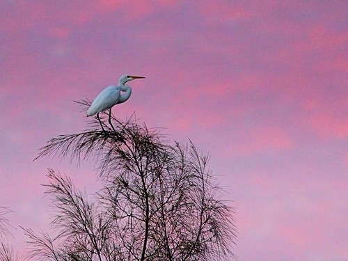 Great Egret before sunrise Corel 20121016 | by Kenneth Cole Schneider