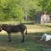 Daisy on donkey guard dog duty (17) - FarmgirlFare.com