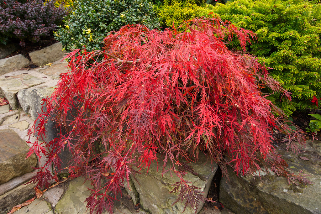 acer palmatum dissectum 39 garnet 39 in autumn english garden flickr. Black Bedroom Furniture Sets. Home Design Ideas