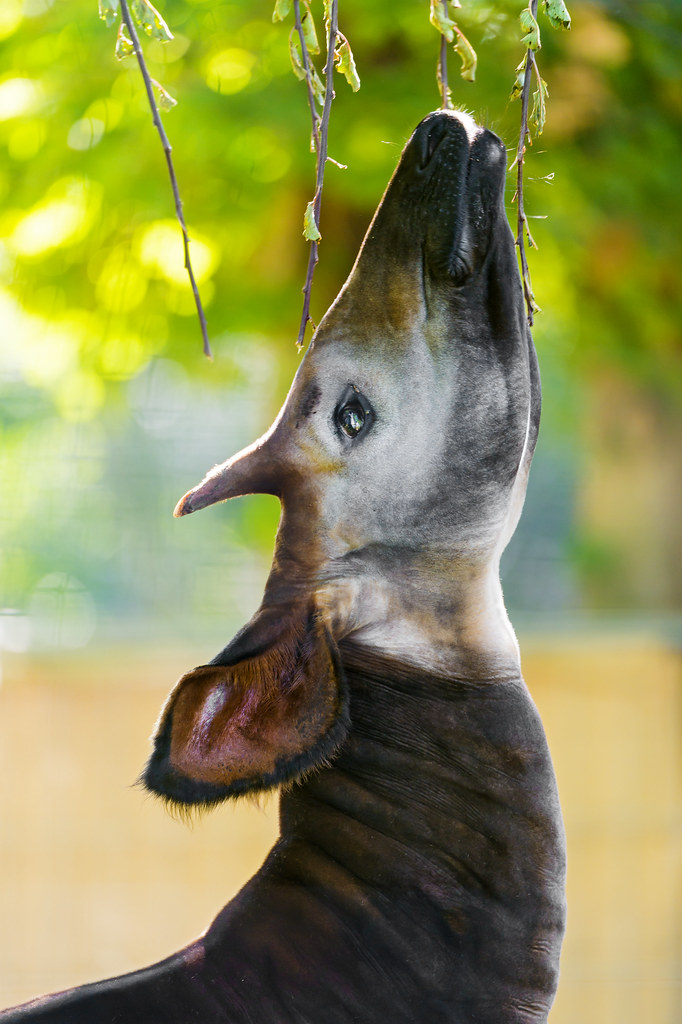 Okapi Eating Leaves From A Tree Ii Second Shot Of The Okap Flickr