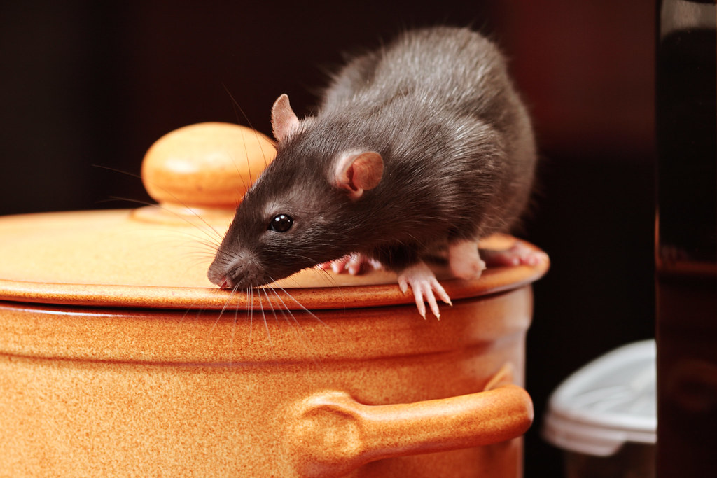 Pests Mice Rats Etc   rat in kitchen,focus on a head.   British Pest ...