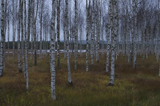 Birches | by Mercury dog