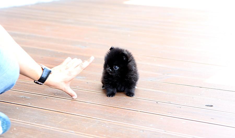 Chic black teacup pomeranian puppy   The cutest,the tinnest ...