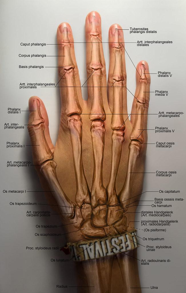 Knochen der menschlichen Hand | Isabelle Su | Flickr