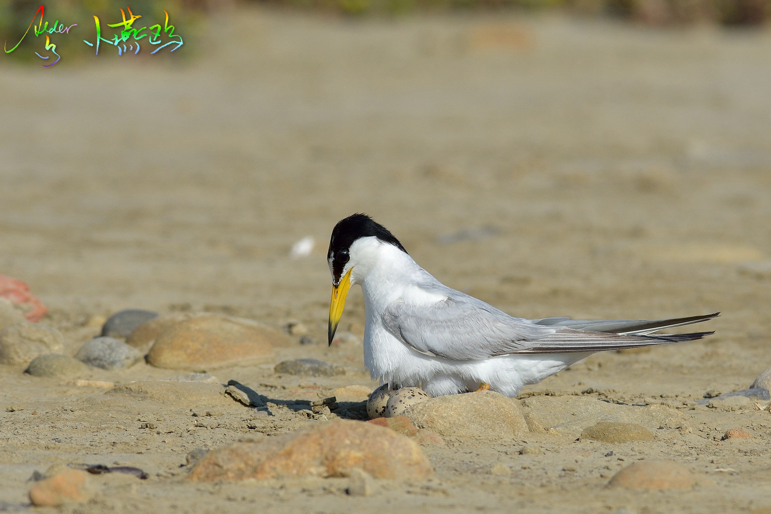 Little_Tern_2060