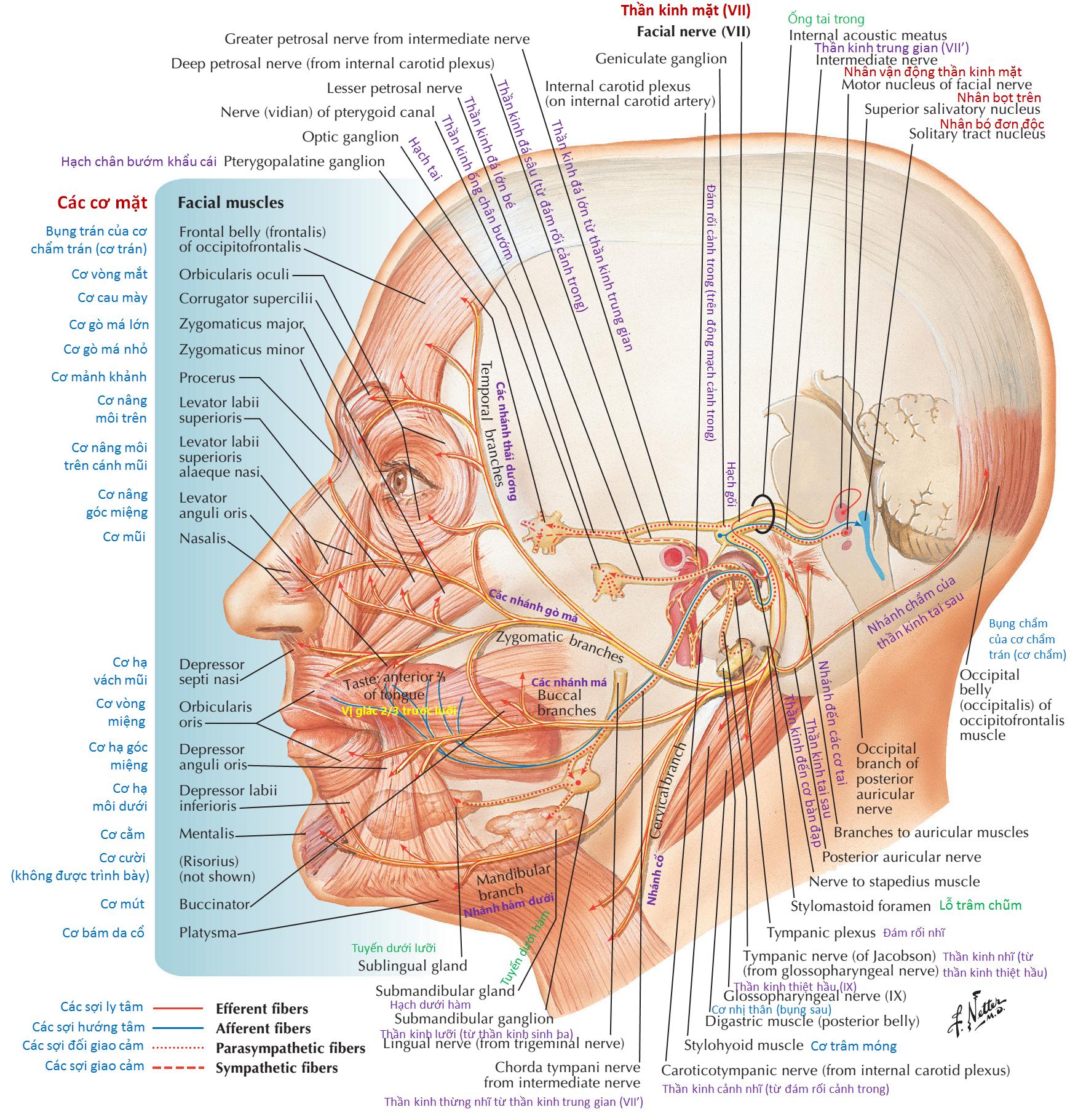 Thần kinh mặt (CN VII): Sơ đồ