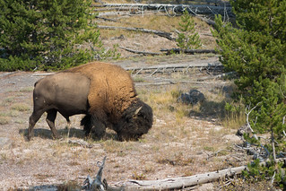 Bison, Yellowstone | by julesberry2001