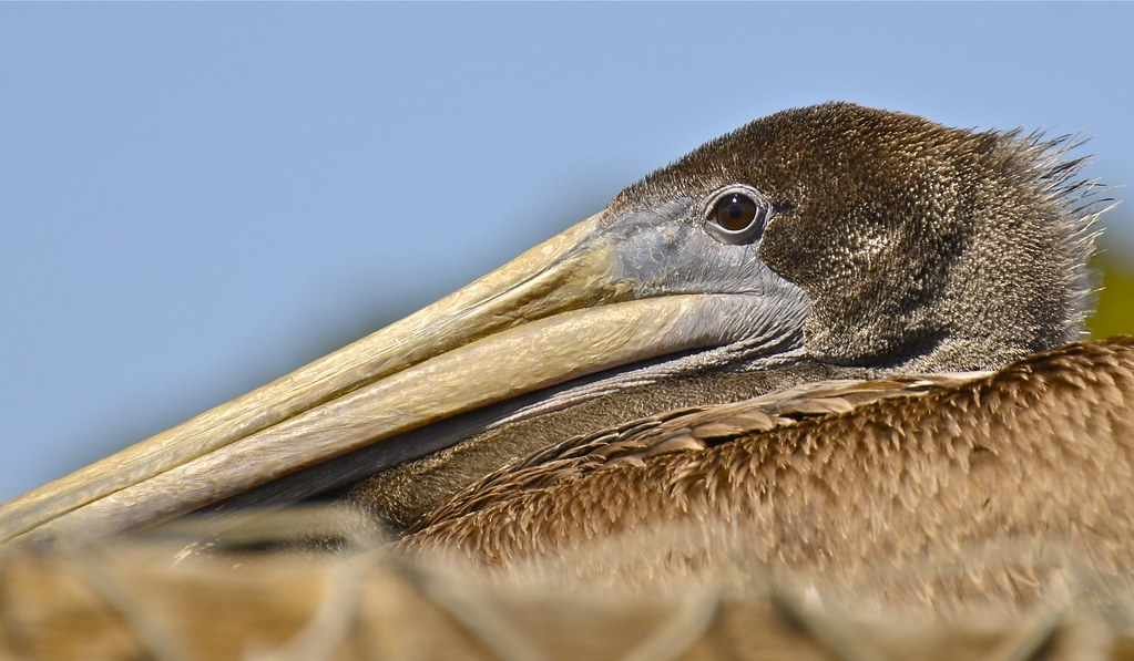 Immature brown pelican hanging out at the fish cleaning for Fish cleaning station near me