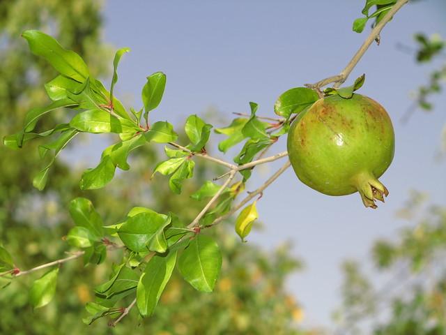 pomegranate tree fruit obst granatapfel baum pflanze. Black Bedroom Furniture Sets. Home Design Ideas