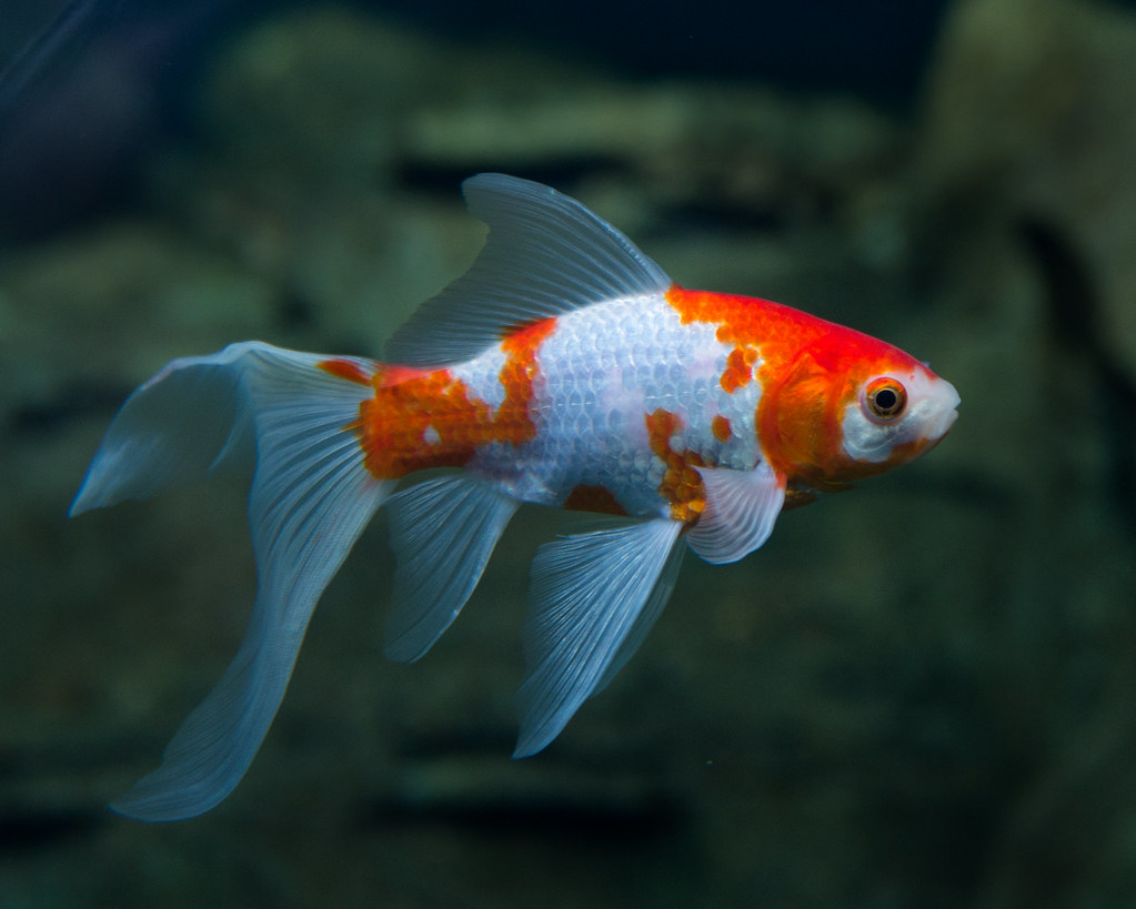 1000 images about goldfish cold water aquarums on for What fish can live with goldfish