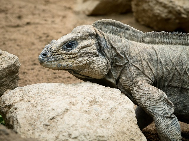Reptile (Iguana, it seems)