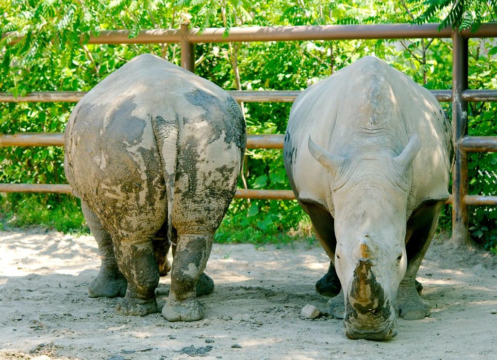 Southern White Rhino_9
