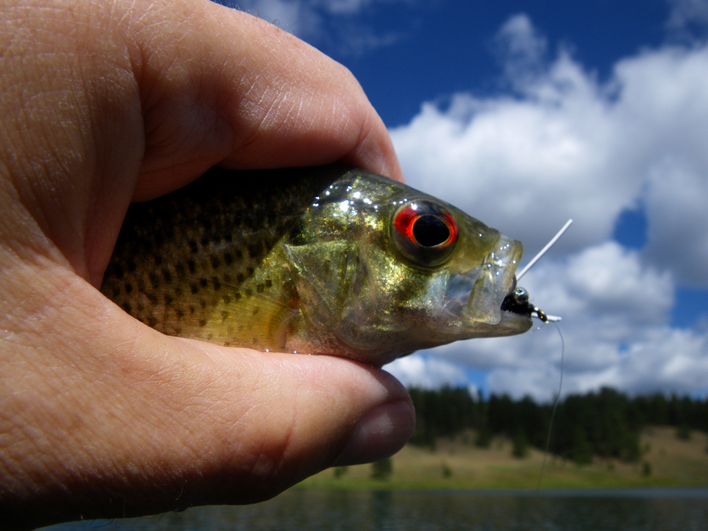 Rock bass where i grew up this fish was called a goggle for Rock bass fish