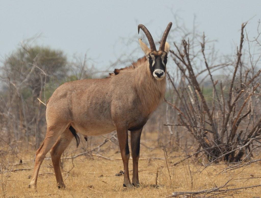 roan antelope hippotragus equinus safari and guide