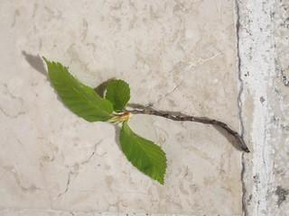 4 f carpino foglie
