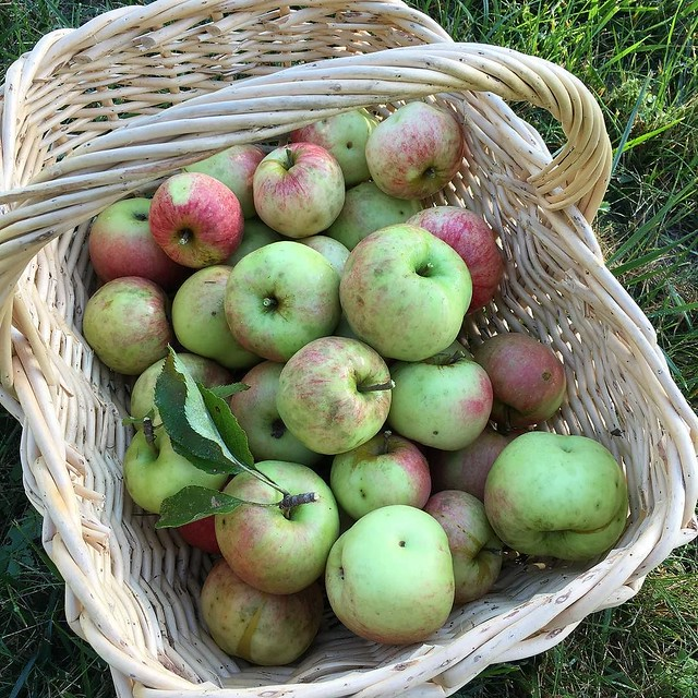 Not gonna let the deer get all the apples. Picking these for a piiiieeeee. 🍏🍎🍏🍎