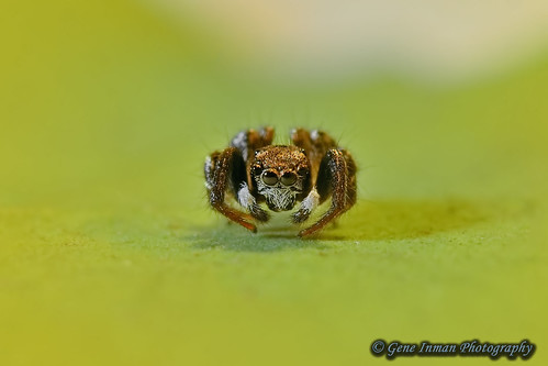 Nikon D800 Test: Jumping Spider - Available Light 105mm w/ 2X Teleconverter | by GeneInman.com