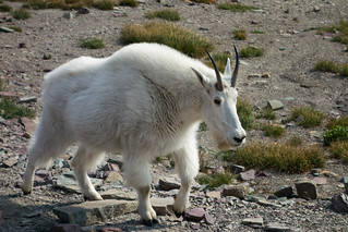 Mountain Goat | by julesberry2001