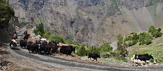 Yaks in the Kichi Alay valley | by Pikes On Bikes