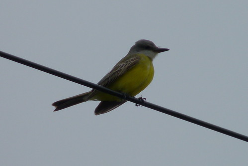 Tropical Kingbird | by sfitzgerald86