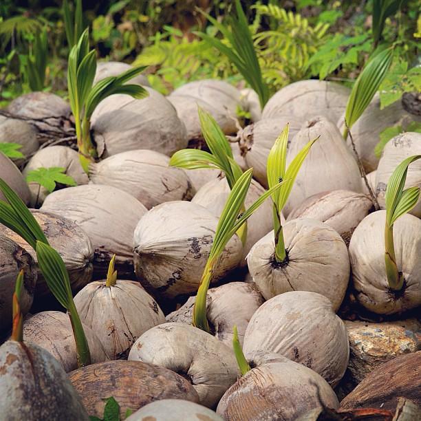 coconut and palm seeds - 2aHawaii