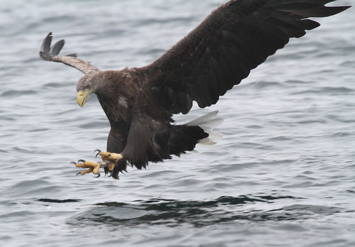 Sea Eagle.  Other images in the comments box. Plus I believe the last two images are of a Golden Eagle being attacked. | by Sandra Standbridge.