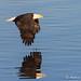 bald eagle and reflection