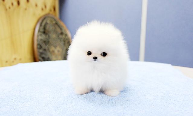 White Teacup Pomeranian Puppies Top quality teacup pomeranian