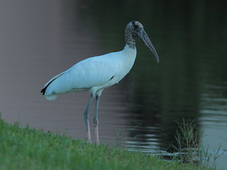 Wood Stork 20121023 | by Kenneth Cole Schneider