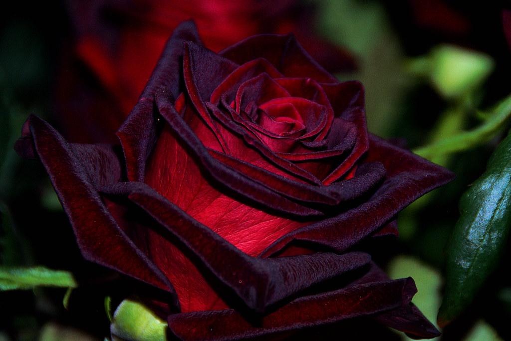 Black Magic Rose  Amy Flickr