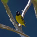 Santa Cruz Siskin,   Spinus magellanicus santaecrucis,  formerly family Carduelis.  This race is a Bolivian endemic.