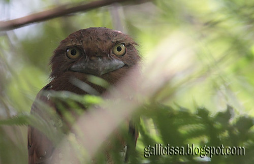 Sri Lanka Frogmouth | by Gallicissa