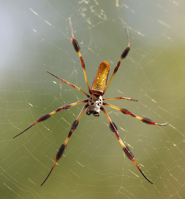 Golden Silk Orb Weaver Flickr Photo Sharing